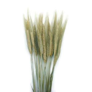 Szárazvirág alapanyag búza (natúr)
