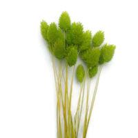 Szárazvirág alapanyag - Fénymag (zöld)