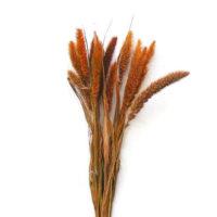 Szárazvirág alapanyag - muhar narancs színű