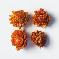 Shola zinnia virág